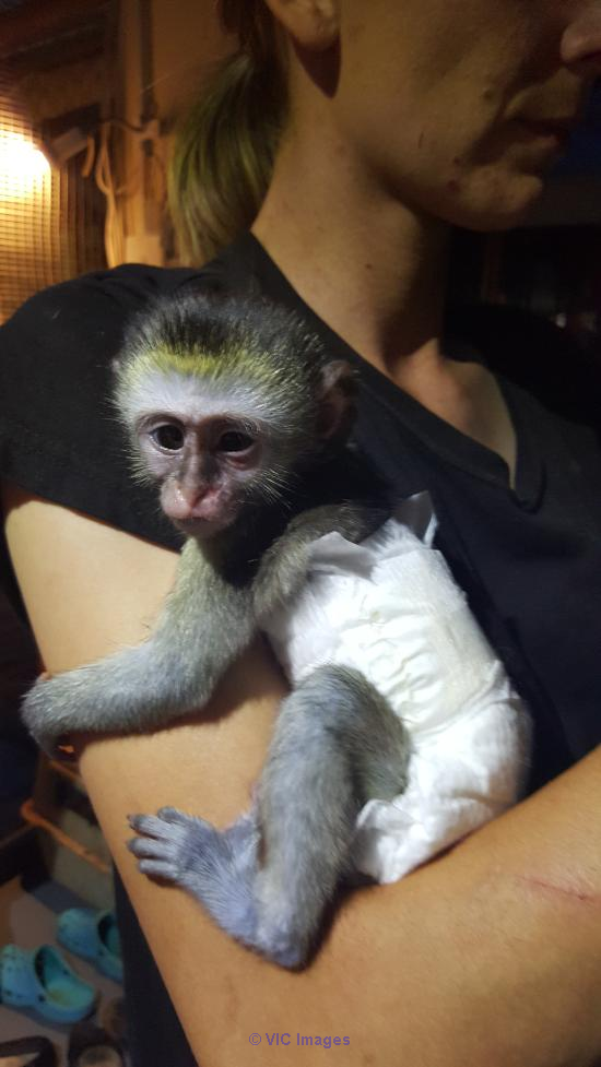 BABY MONKEY FOR AVAILABLE ADOPTION Houston, TX, US Classifieds