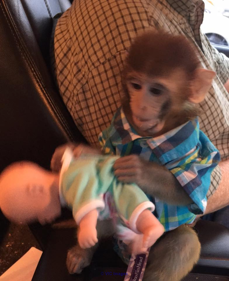 AVAILABLE HOME TRAINED BABY MONKEY  Houston, TX, US Classifieds